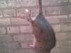 szczur po deratyzacji